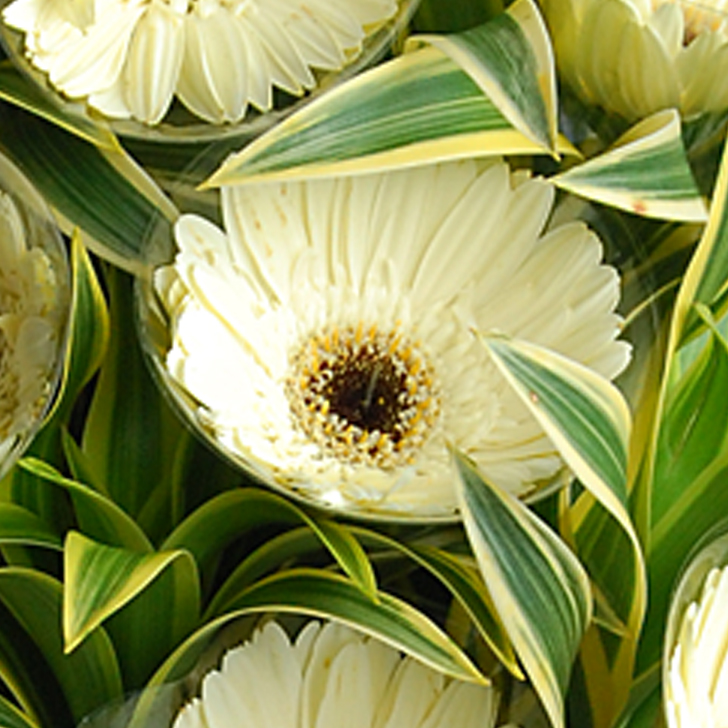 【巧繪網—嚴選畢業花束】FC520115‧白色太陽=太陽花數朵(可換紅色、橘色、粉色)