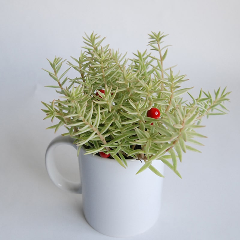 【巧繪網—創意綠生活】PT510023=治療系小品‧耐擺耐放綠色植物‧辦公室小物推薦